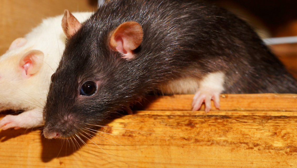 5 Diseases Carried by Common Household Pests