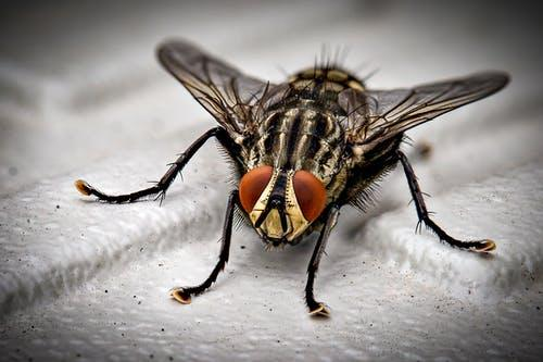 A black and gray housefly