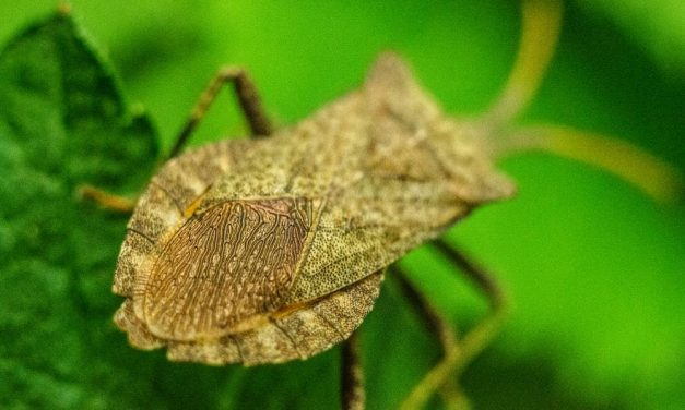 Why Do Stink Bugs Hide in Homes?