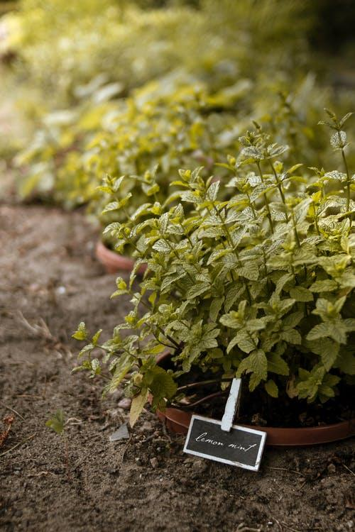 Brown pots with a green lemon-mint plant.