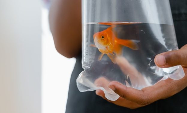 Why You Should Never Flush Goldfish Down the Toilet